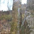 #brzoza #drzewa #drzewo #jesień #las #słońce