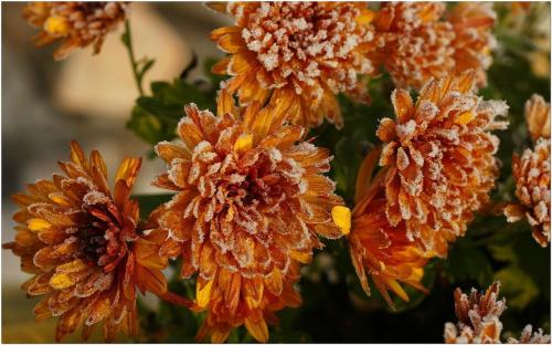 Jak posypane cukrem... #Kwiaty #makro #szron #przymrozek