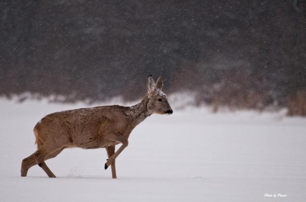 Walcząc z przeciwnościami losu #sarna #zwierzęta #pole #las #zima #śnieg #passiv #airking