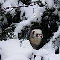 Milosnik jalowcow (foto pomniejszone) #Plastu #spacer #ParkSzczytnicki #fretka #zima #snieg #konkurs