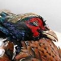 ptak, Bażant, samiec #ptak #Bażant #samiec