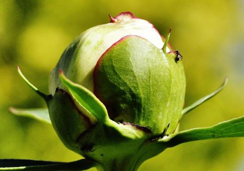 #roślinka #mrówka #pączek #roślina #słońce