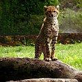 Gepardzik :) #zoo #zwierzęta