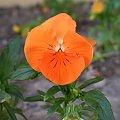 #Bratek #pomarańczowy #kwiat