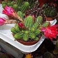 Chamaecereys sylvestrii hybryda #Chamaecereus #sylvestrii #hybryda #kaktus #sukulent #hybrid