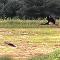 pierwsze spotkanie z bocianem czarnym(może jakość nie powala ale chciałem go pokazać #BocianCzarny #fauna #ptak #zwierzęta