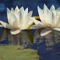 wodne piekności #flora #GrzybieńBiały #kwiat #LilieWodne #makro #przyroda