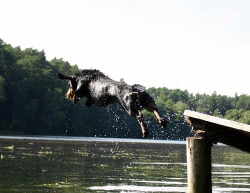 latający pies