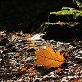 w jesiennym klimacie #jenień #las #liść #makro
