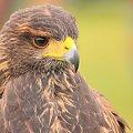 dumny #drapieznik #fauna #ptak #zwierzęta