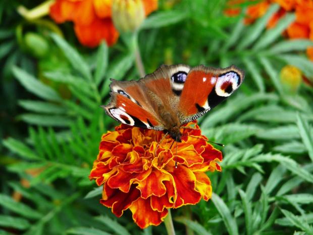 odpoczywa #motyl #aksamitka #ogród