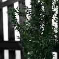 Bukszpan #bukszpan #kawiat #krzew #roslina #płot #plot #zima #jesień #ogród #ogrod #zielony