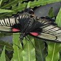 Poki nie przyjdzie wiosna bede was meczyc motylami...:/ #evasaltarski #motyl #owad
