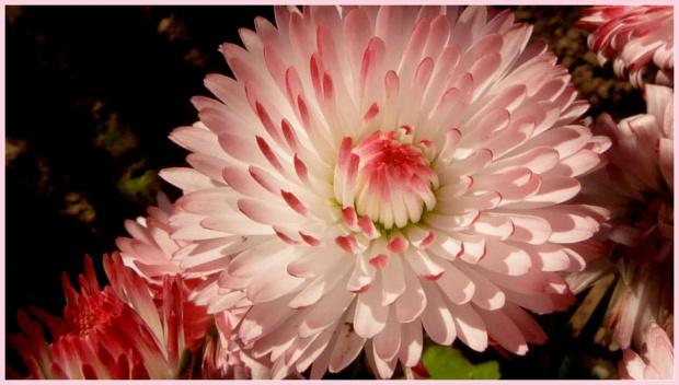 stokrotka ogrodowa:) #kwiaty #ogrod #wiosna #slonce #stokrotka