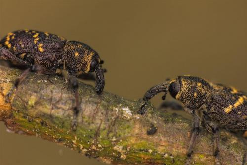spotkanie #żuk #chrząszcz #makro #owad
