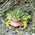 Żaba ;D Cudowne ujęcie prawda?! Przy pomocy: Sony H5. #żaba #wada #płaz #płazy #żaby #ropucha #lato #jezioro #staw #ryby