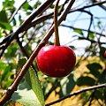 #drzewo #wiśnia #liść
