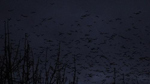 Wielkie stado ptaków po zmierzchu #ptaki #zima #wieczór #Śląskie #Racibórz