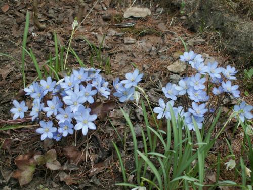 przylaszczka #przylaszczka #kwiat #wiosna