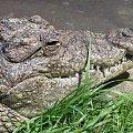 #krokodyl #zwierzęta #ficiol007