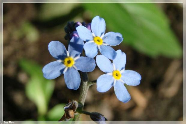#kwiaty #niezapominajki #ogród #wiosna