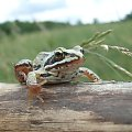 Żaba pozuje #żaba
