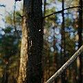 pajączek #pająk #pajęczyna #las #drzewo