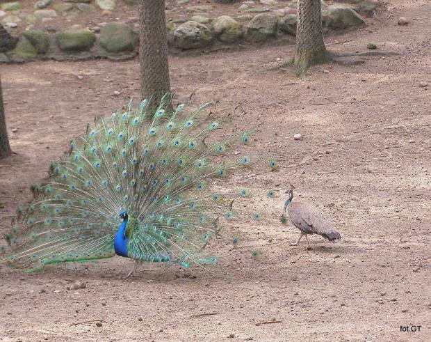 Pawie. #ptaki #paw