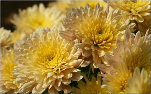 Chryzantemy... #Chryzantemy #makro #kwiaty #jesień